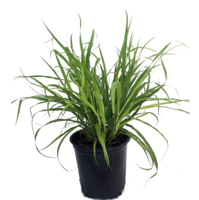 Lemongrass in Pot